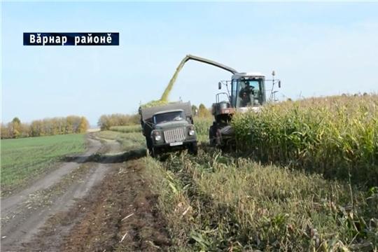 """СХПК """"Янгорчино"""" уборка кукурузы"""
