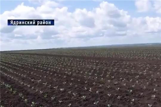 Чăваш Ен. В Вурнарском и Ядринском районах заканчивается посадка сои и капусты