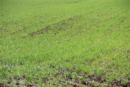Предварительные  итоги проведения  весенних полевых работ в Цивильском районе