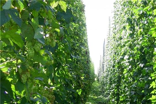 """С расширением направлений государственной поддержки на развитие хмелеводства в Чувашии увеличиваются площади """"зеленого золота"""""""